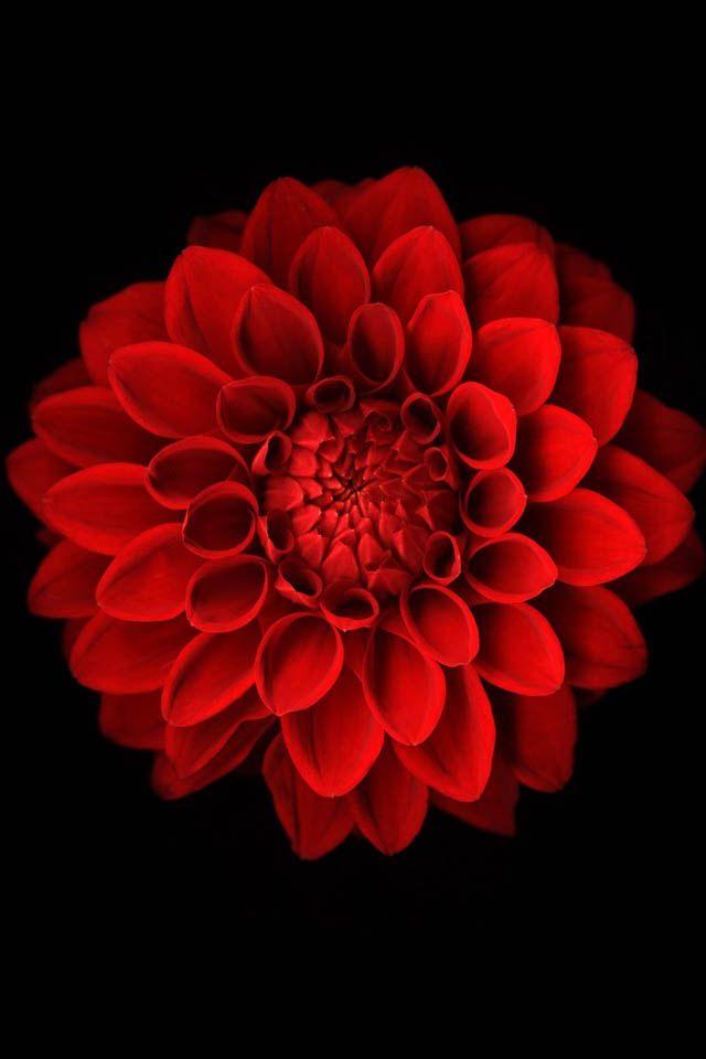Pin By Brenda Esparza On Radiantly Red Dahlia Flower Tattoos Birth Flowers Flower Tattoos