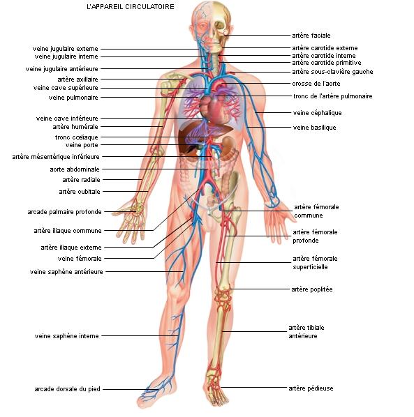 Il est classique de subdiviser les sciences biologiques en anatomie et physiologie. L'anatomie s'adresse plus particulièrement à l'aspect statique des êtres organisés, animaux et végétaux. Elle décrit à la fois la forme générale ou morphologie,…
