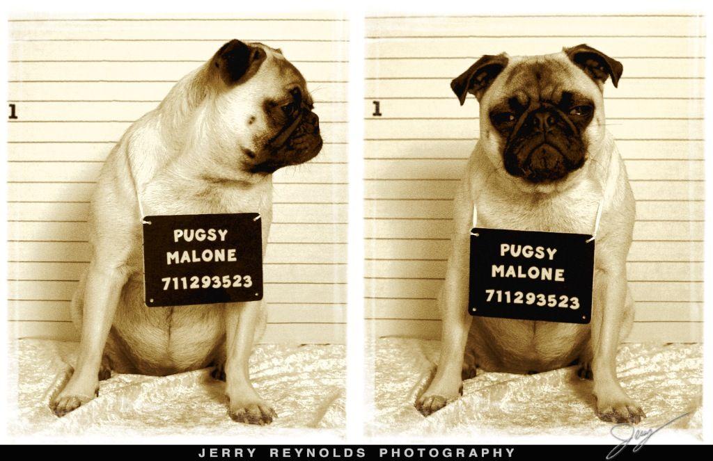 Funny dog mug shots mug shot pug pugs cute pugs pug mug