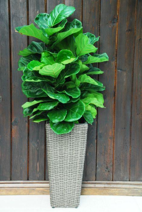 fiddle leaf fig ficus lyrata bush outdoor living ficus fiddle leaf fiddle leaf fig tree. Black Bedroom Furniture Sets. Home Design Ideas