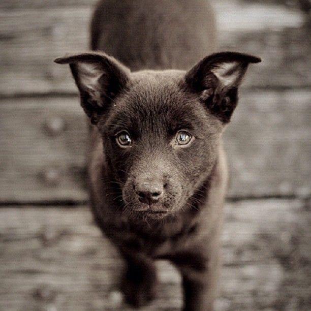 Australian Kelpie. @puppyrequests , - @puppypalace- #