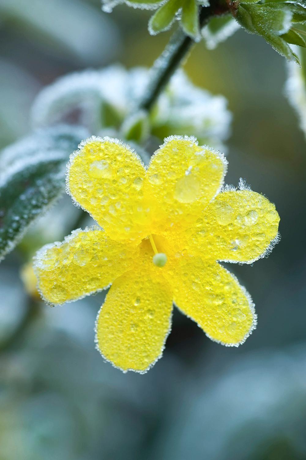 le bal des hivernales | yellow/gray | pinterest | hivernal, jasmin