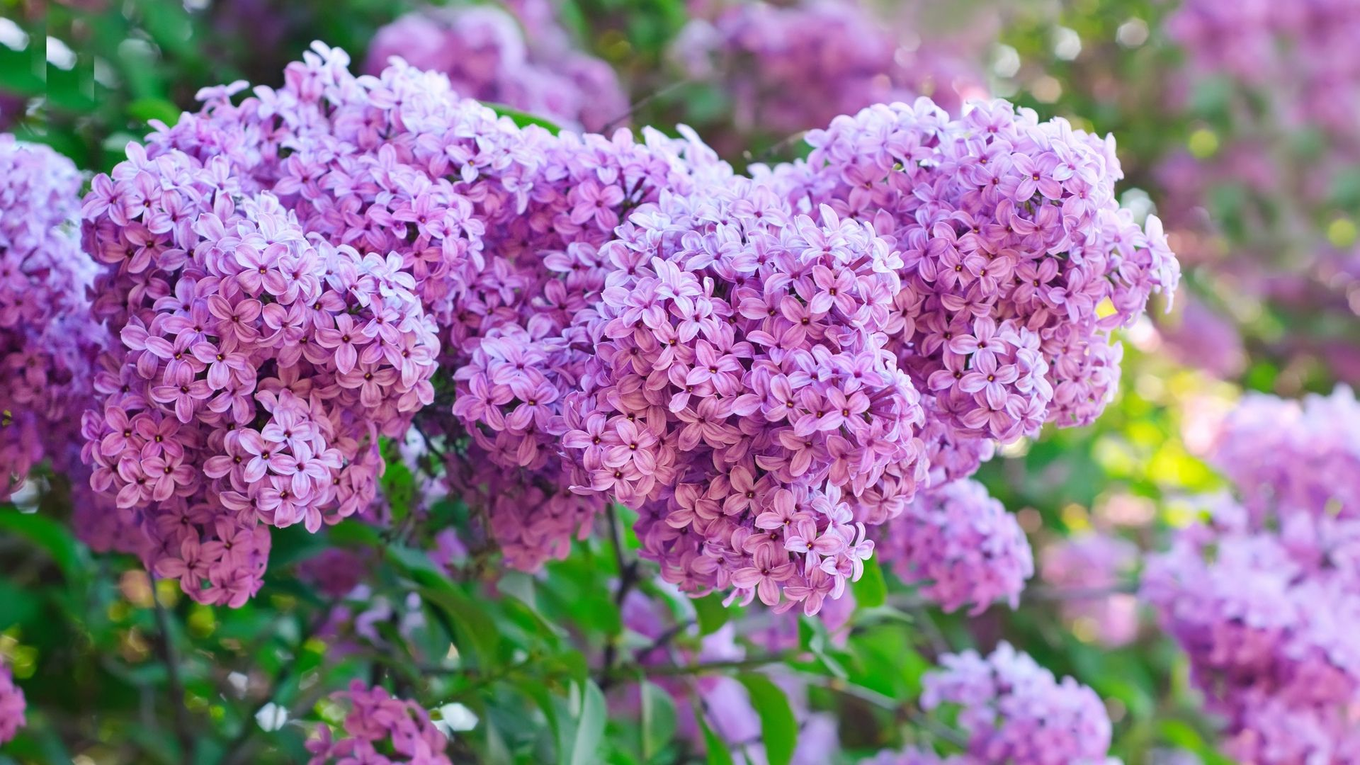 Lilac Flowers Lilacs Are Very Beautiful Plants When In Bloom In May They Are Very Magnificant Their Fragra Edible Flower Garden Lilac Plant Flower Seeds