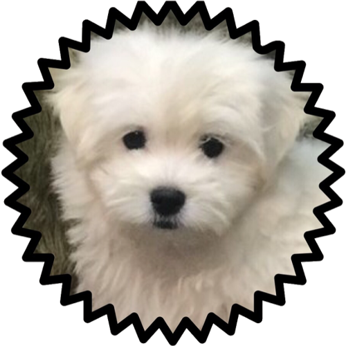 Pin By Gladys On Overeat Maltipoo Puppy Maltipoo Puppies For Sale Maltipoo