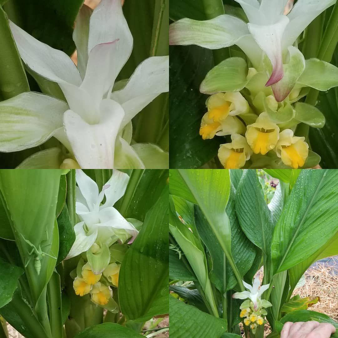 First Turmeric flower of the season enjoying the rain...and a praying mantis protecting.. . .