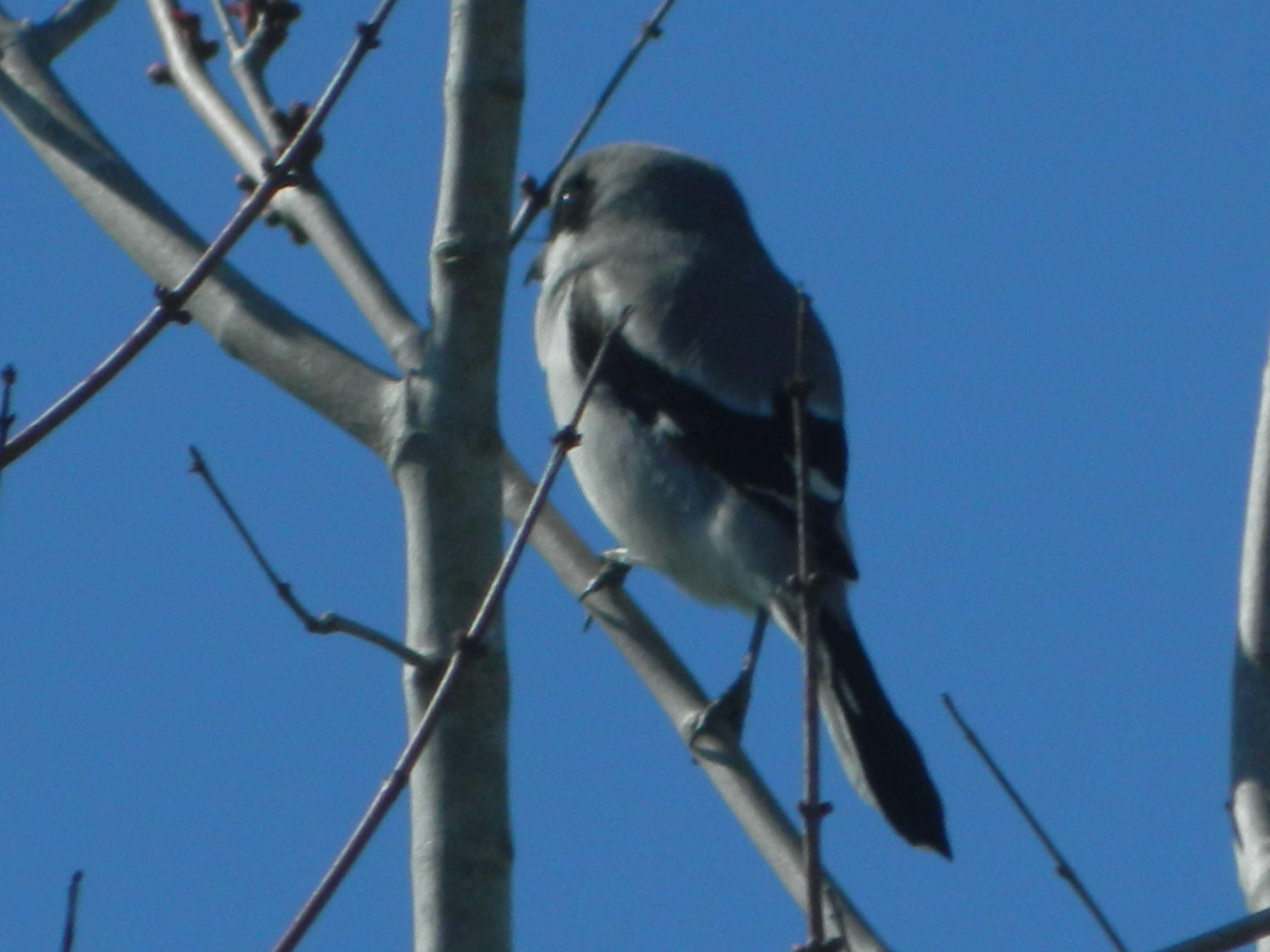 Loggerhead Shrike in my back yard