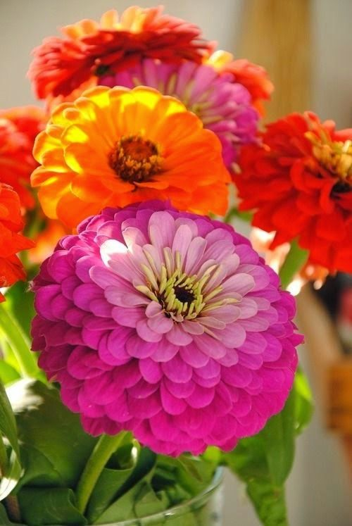 Zinnias...Some of the easiest flowers to grow from seed. Remember: the bigger the seed is, the easier it is to grow...