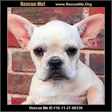 North Carolina French Bulldog Rescue Adoptions Rescueme Org