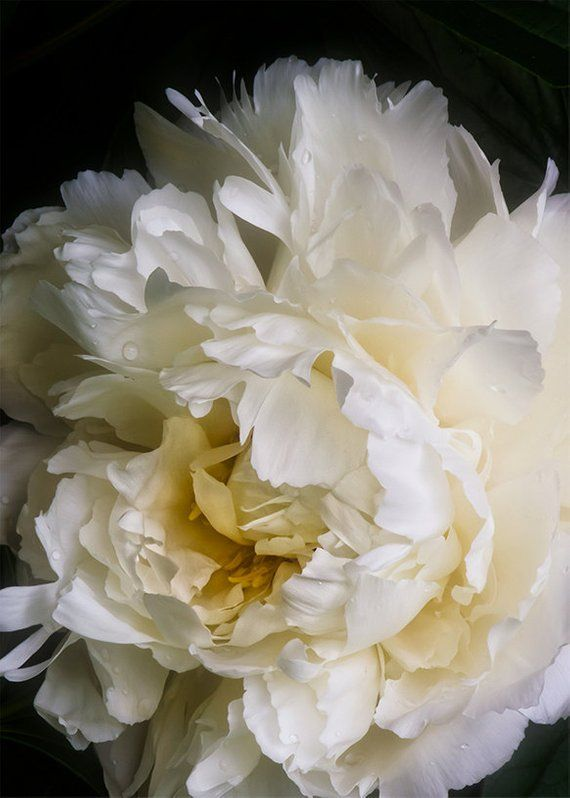 fine art photography flower photography wall art wall decor, White Peony  with Golden Center and bla is part of garden Photography Art - size 5  x 7 Title White Peony with Golden Center and black background 012This is a fine art photographic flower giclée of a gorgeous white peony from my garden  My husband told me that I should go and see the flowers that were in bloom in the front yard  He was right about how gorgeous they were  This peony has a gorgeous golden glow in the center of the blossom  I love how the black background and dark green leaves enhance the beauty of the blossom  This image works both horizontally and vertically  I've included both versions for you to see I use professional archival inks on lovely fine art archival paper  The fine art paper provides a  softer fine art look—quite like a watercolor  The colors may appear differently in the print due to variations in your screen calibration Art will arrived signed, unmatted and unframed The print should be handled carefully, by the edges only, as it will show finger prints and can be scratched  The art will arrive in an acid free acetate sleeve to protect it before it is framed  As with all fine art, it should be hung where it won't be in direct sunlight The print will be made to order and shipped within one week, unless by chance I am out of town   which is truly unlikely  All of the fine art photography prints in my shop may be purchased in custom sizes For other sizes, paper finishes or questions please contact me All copyright and reproduction rights are retained by the artist  Artwork may not be reproduced by any process without the express written permission of the artist