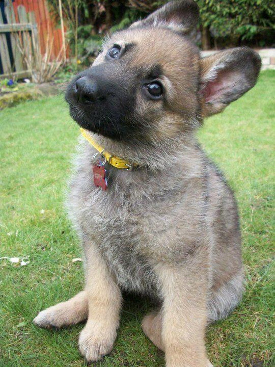 German Shepard Puppy Puppies Cute Dogs Cute Animals