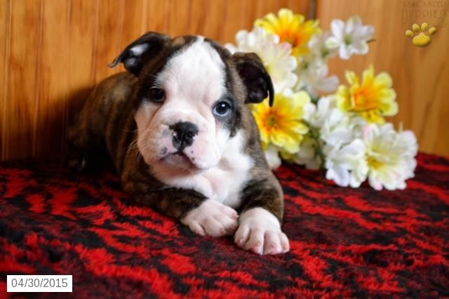 English Bulldog Boston Terrier Puppy For Sale In Ohio