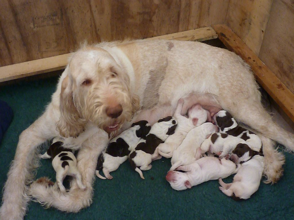 Image of italian spinone brown roan young puppy blue sitting cute - Puppy Love Spinone Italiano Puppies