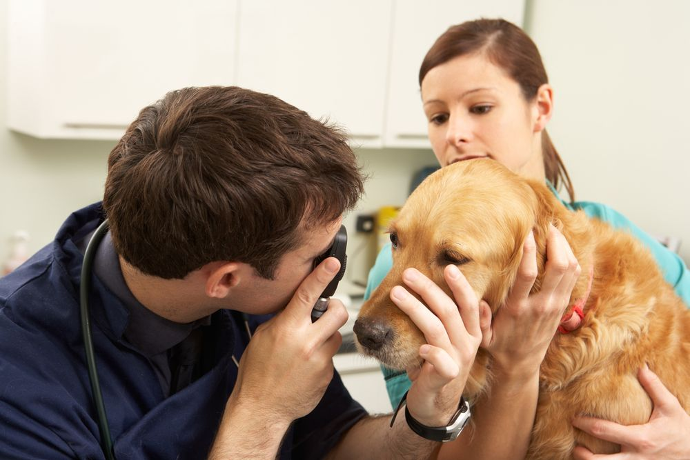 Diagnosing Sudden Blindness in Dogs Can Be Confusing Dog