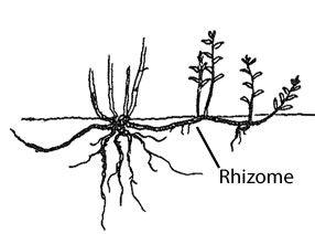 rhizome    diagram     Google Search   Rhizomatic Learning