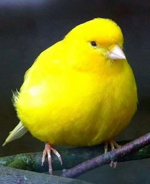 A Yellow Bird Canary Birds Bird World Birds