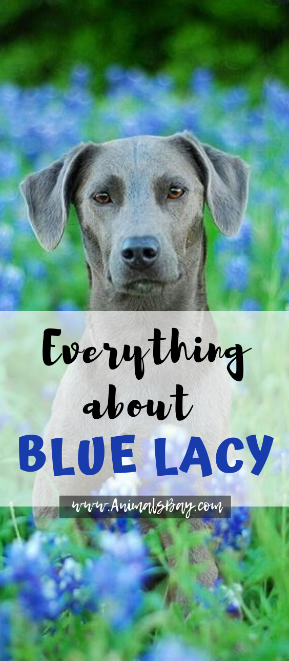 Blue Lacy The Texas National Sweetheart Blue Lacy Dog Blue Lacy Dog Breeds