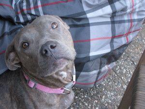 Adopt Lulu On Pitbull Terrier Cute Animals Bull Terrier Dog