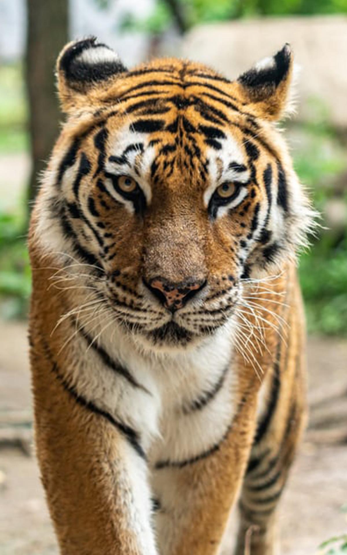 rencontre tigre)