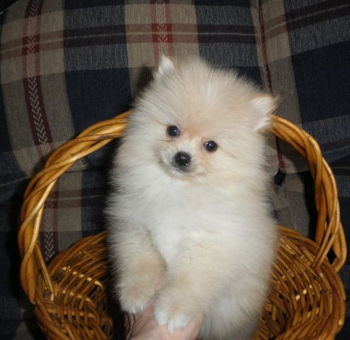 Found On Exchange931 Com Akc Pomeranian Puppy For Sale Cream Color Male Health Guarantee 500 Www Hillv Pomeranian Puppy For Sale Pomeranian Puppy Puppies
