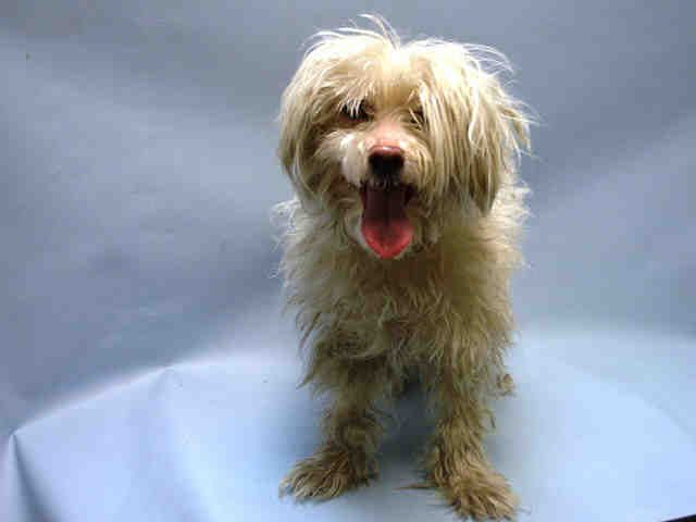 SAFE 7-17-2015 by Metropolitan Maltese --- Brooklyn Center DUTCHESS – A1043262  FEMALE, WHITE, MALTESE MIX, 4 yrs OWNER SUR – EVALUATE, NO HOLD Reason MOVE2PRIVA Intake condition EXAM REQ Intake Date 07/08/2015