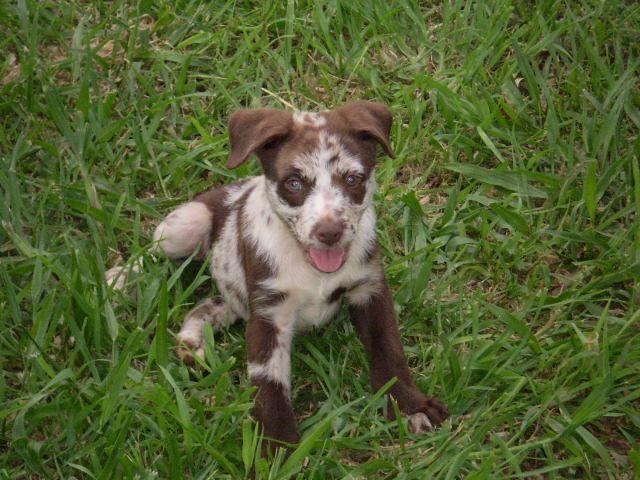 For Sale Chocolate Koolie Pups Koolie Dog Beautiful Dogs Pup