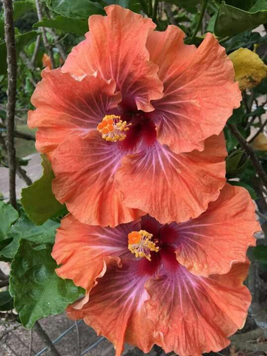 Fabulous Hibiscus Hibiscus Plant Beautiful Flowers Hibiscus Flowers