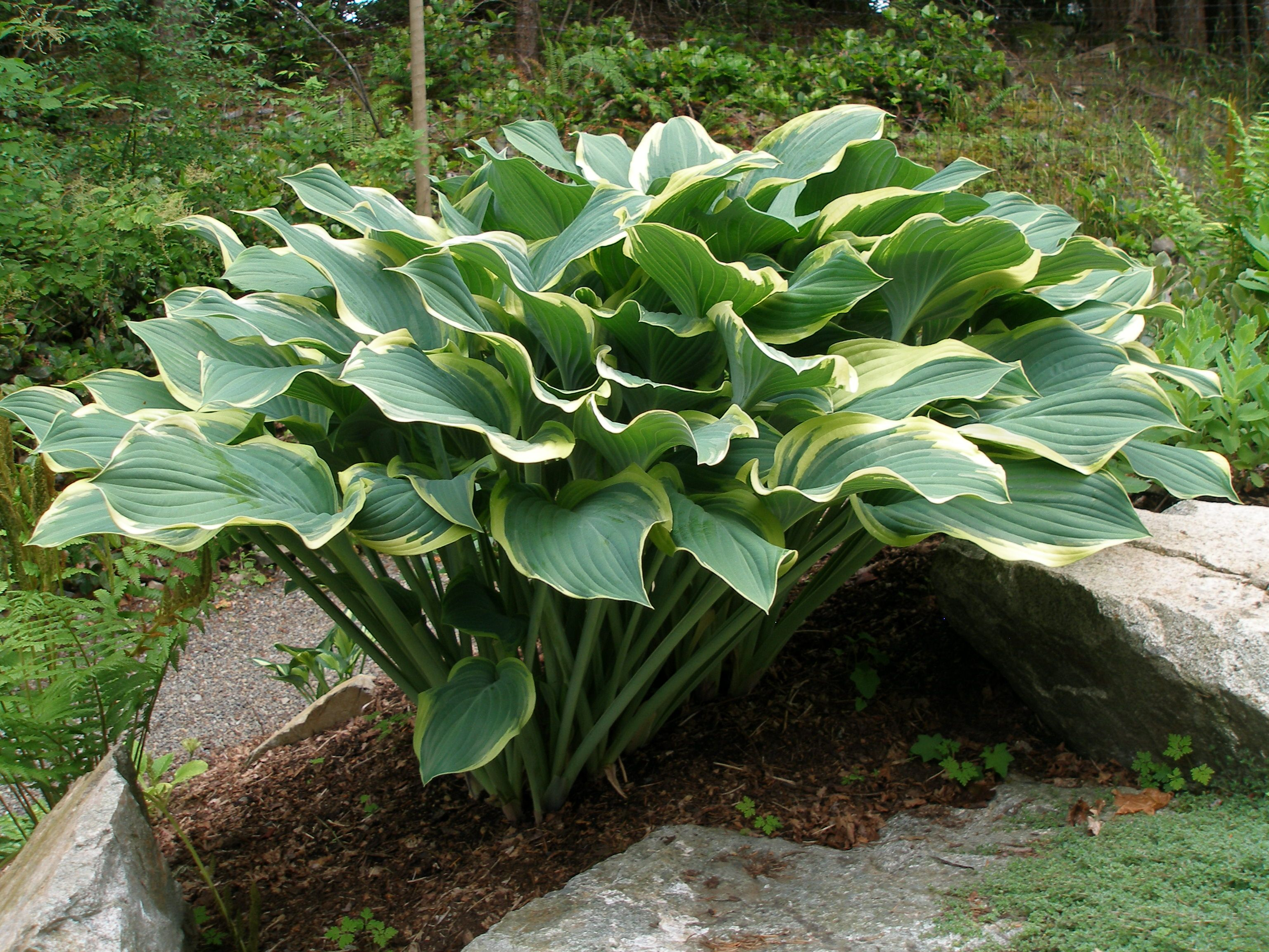 Hosta Regal Splendor Very Aptly Named Dry Creek Hostas Garten