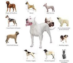 History Of Dogo Argentino Dog Breeds Dogs Bully Breeds Dogs