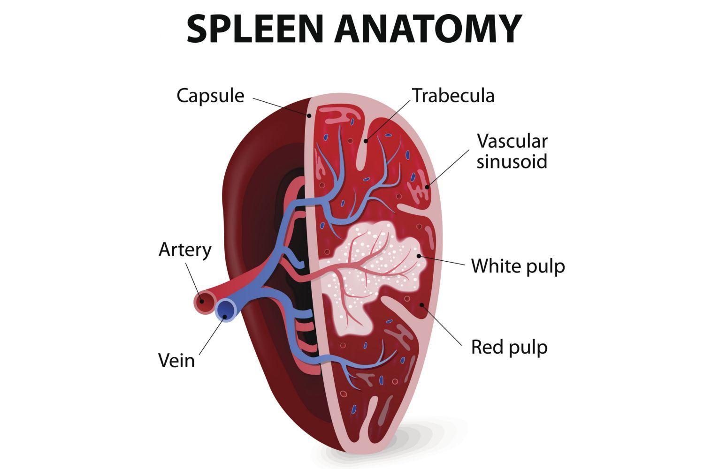 Diagram Of Spleen Location Human Anatomy Study Pinterest