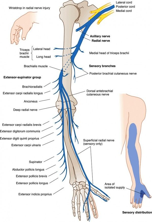 Radial Nerve Innervation Diagram Wiring Circuit