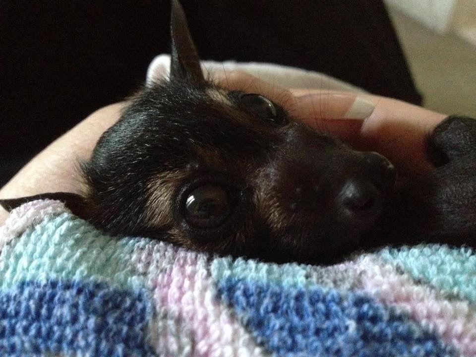 Pin By Paulette Koch On Bats Baby Bats Bat Animals