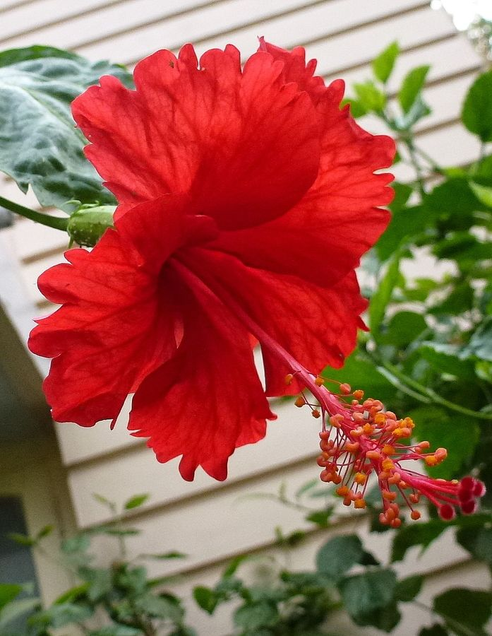Red Hibiscus Flower Flowers English Gardens Hibiscus Flowers