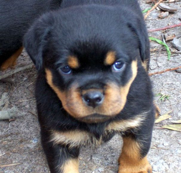Adult Rottweilers For Sale 65