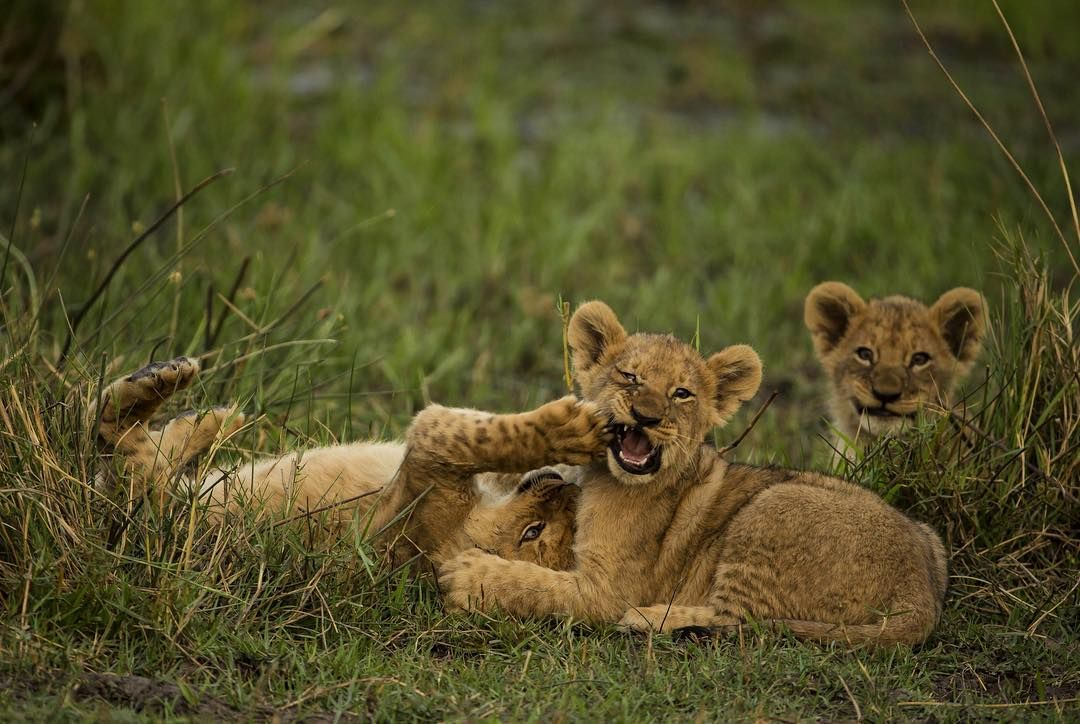 """Image by @beverlyjoubert. The expressions on lion cub's faces as they play are endlessly entertaining. At this age they're either at play or asleep. But…"""