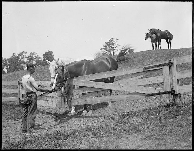 Horses at the farm of the Mass. Society for the Prevention of Cruelty to Animals, Methuen, MA. | by Boston Public Library