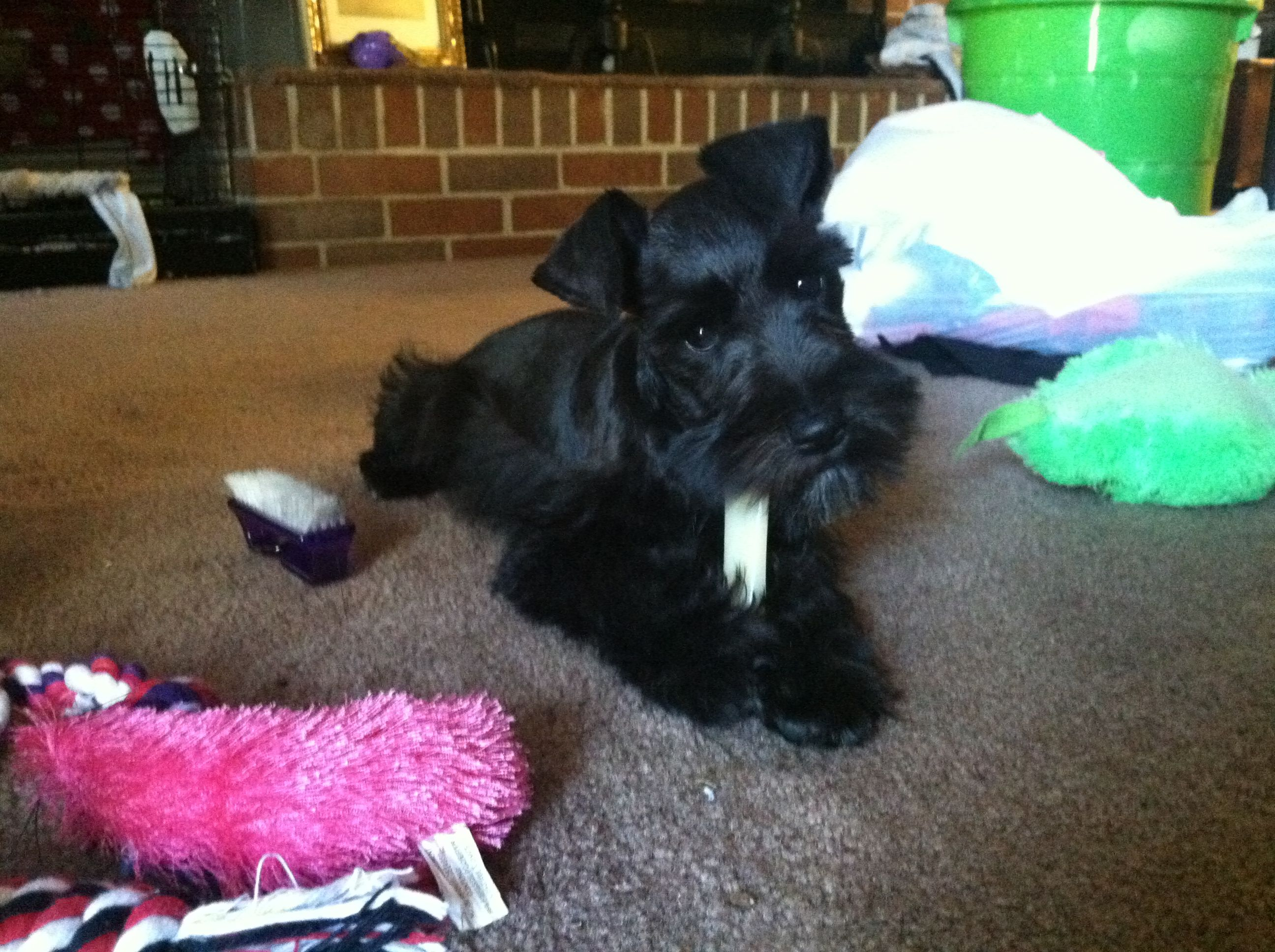 Spoiled Layla Mini Schnauzer Mini Schnauzer Doggy Cute Animals