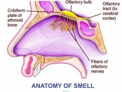 anosmia   disorder of smell sensory nerves, nerve anatomy, human anatomy,  sensory system
