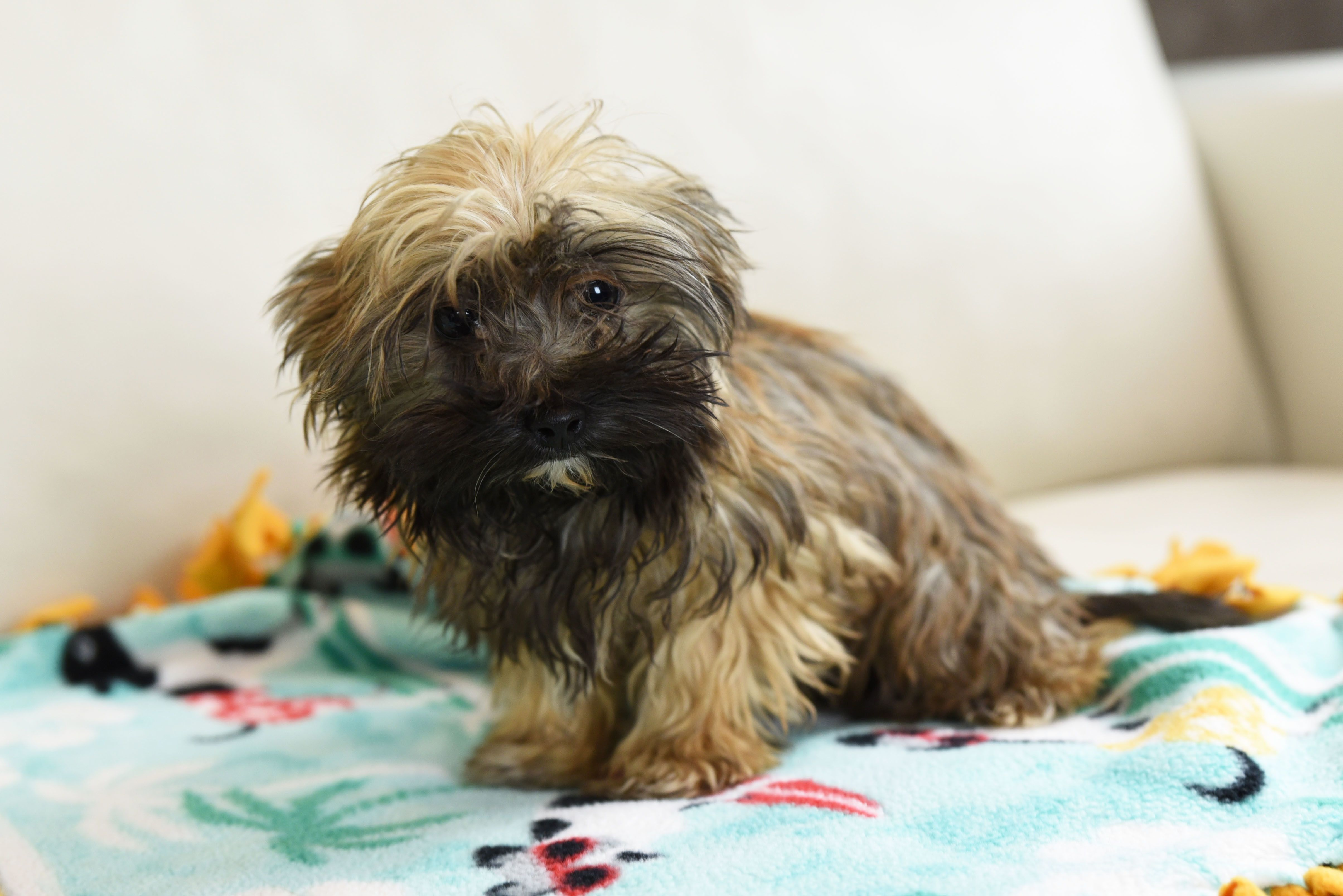 Adopt Lucy on Dog adoption, Havanese dogs, Dogs