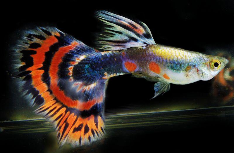 Guppy Platinum Dragon Red Half Moon Guppies Sold In Pairs Guppy Guppy Fish Fish
