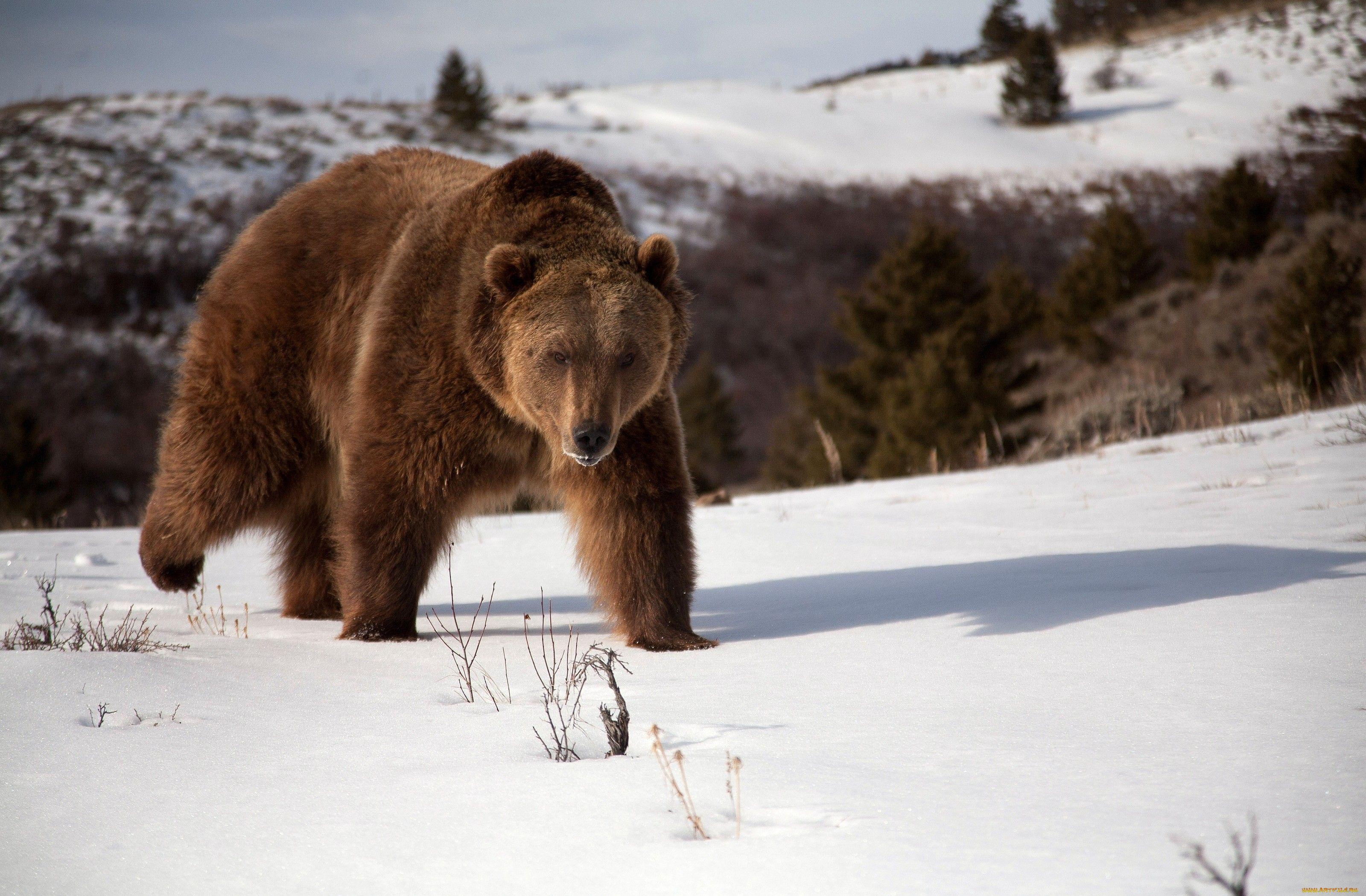 Wallpapers wildlife, giant panda, snow, animal