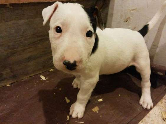 Puppies For Sale In United Kingdom Dogs And Puppies Bulterer