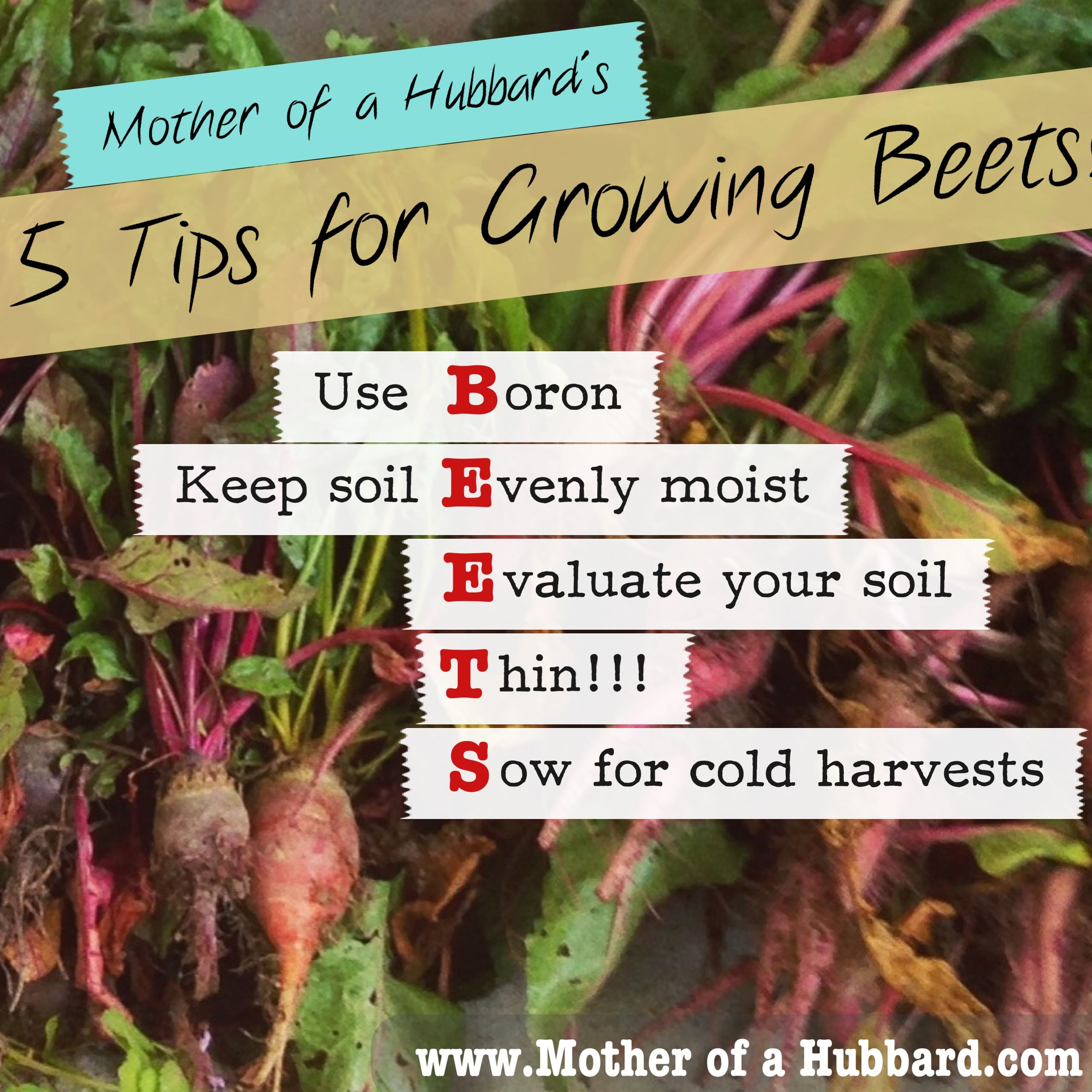 Rhubarb Companion Plants: The Secret To Growing Beets: Five Tips For Success
