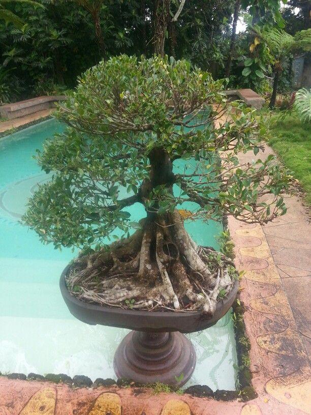 Bonsai Tree At Hindu Monestary Kauai Bonsai Tree Kauai Bonsai