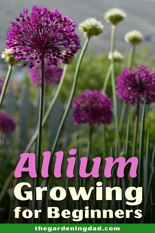 How To Grow Ornamental Allium For Beginners The Gardening Dad In 2020 Planting Succulents Plant Stand Indoor Succulent Terrarium