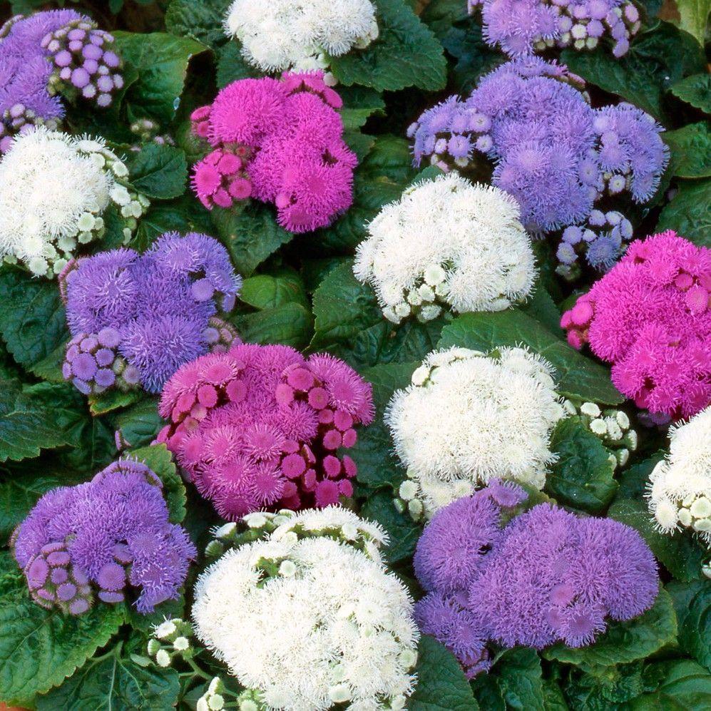 Ageratum Champion Collection Ageratum Floss Flower Pinterest