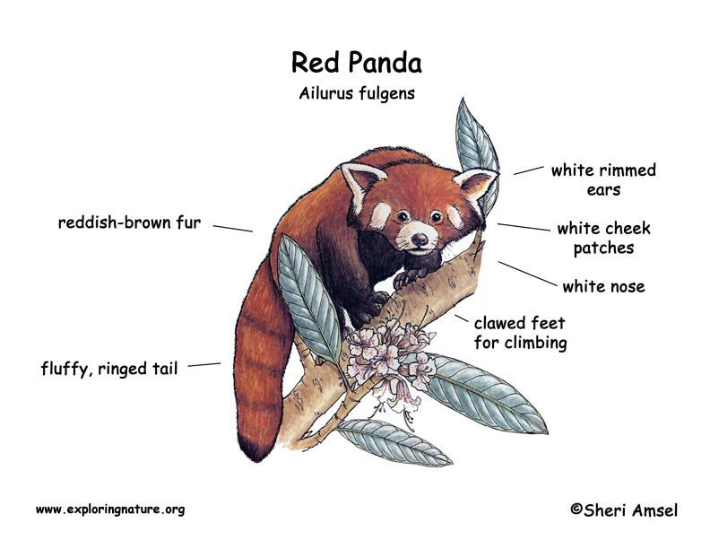Red Panda Body Parts And Diagram - DATA Wiring Diagrams •