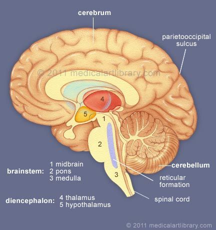 Brain anatomy internal structures medical art library brain anatomy internal structures medical art library ccuart Images