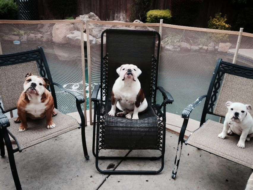 Bulldog Shedding Solutions Itchy dog, Dogs, I love dogs
