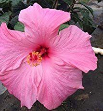 Growing Hibiscus Indoors Hibiscus Rosa Sinensis Gardening
