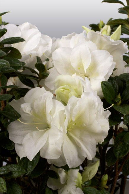 Died Autumn Moonlight Encore Azalea With Images White Plants Azaleas Azalea Shrub